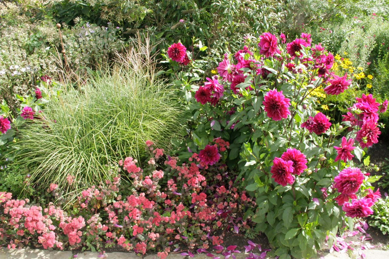 Border Design with Dahlia and Miscanthus