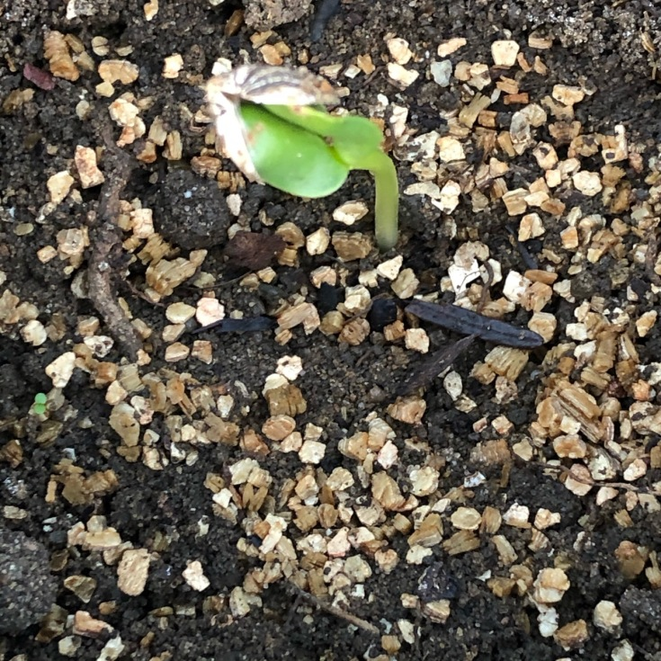 Sunflower Seedling2, Walter van Rijn